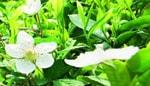 zielona herbata - detosil